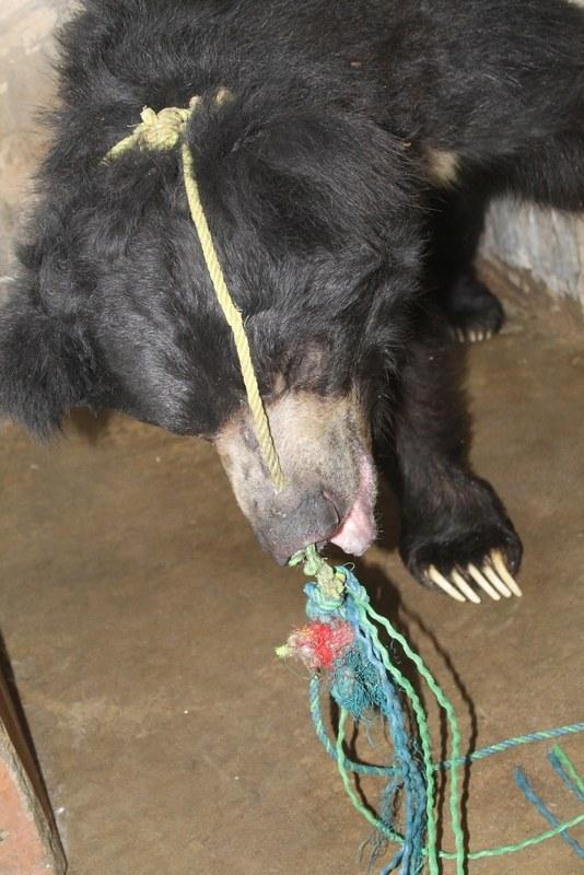 ours-dansant-nez-corde-2