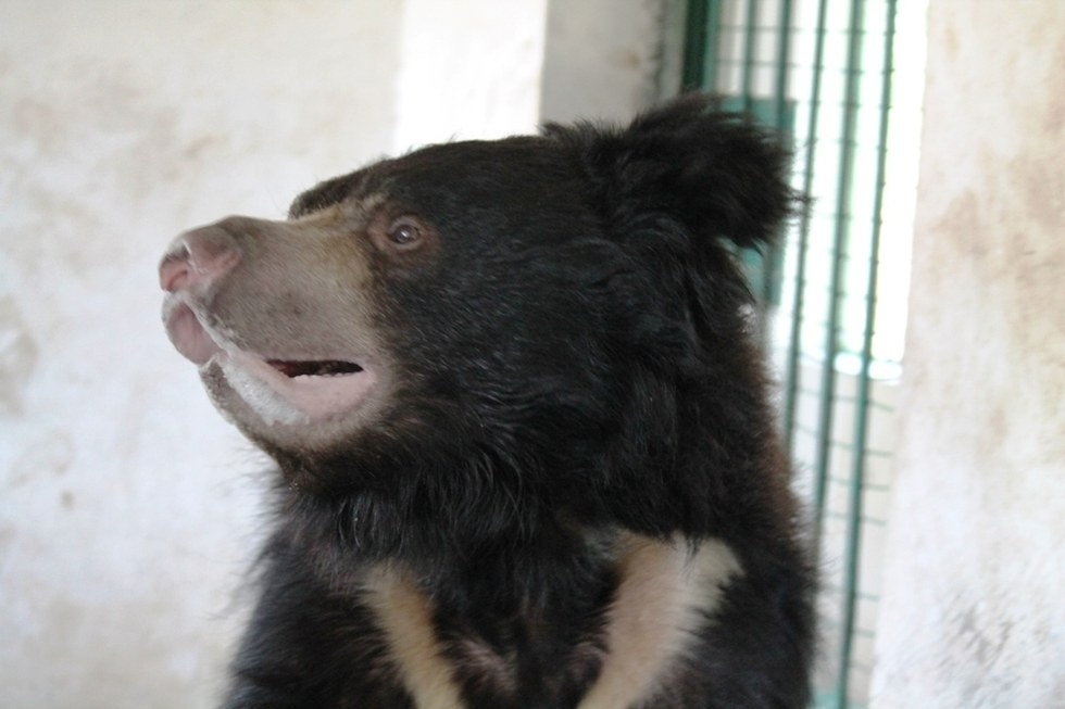 ours-dansant-nez-corde-5