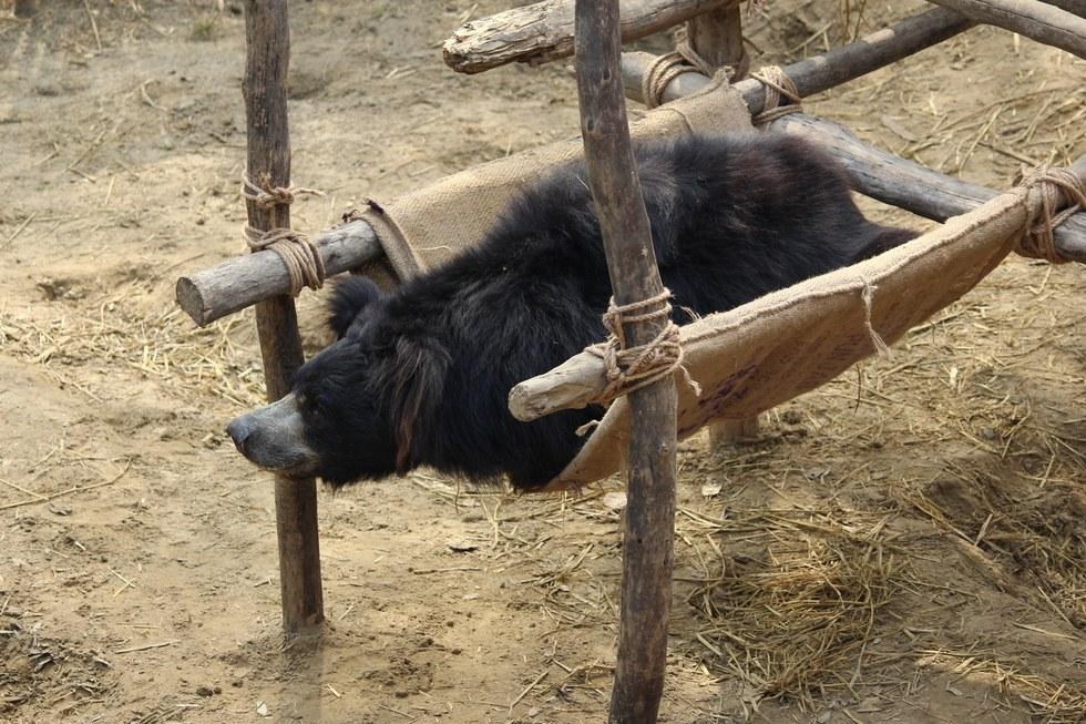 ours-dansant-nez-corde-6