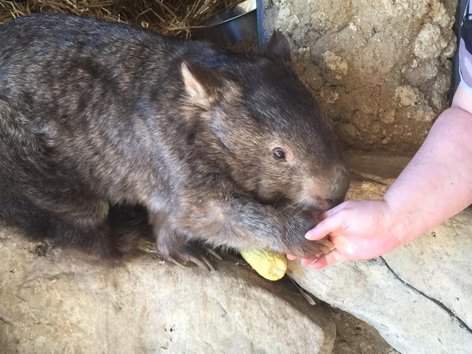 patrick-oldest-wombat-1