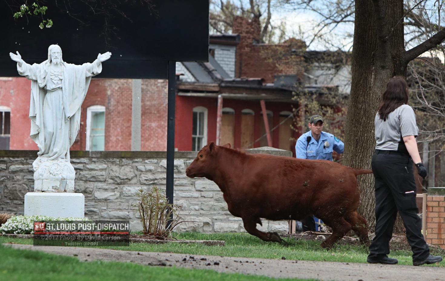 vaches-abattoir-saint-louis-6