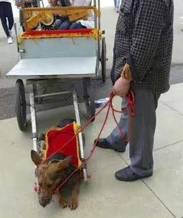 chiens-caleche-chien-maltraitance-2