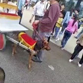chiens-caleche-chien-maltraitance-4