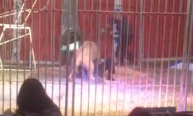 lion-attaque-doullens-buffalo-cirque-3