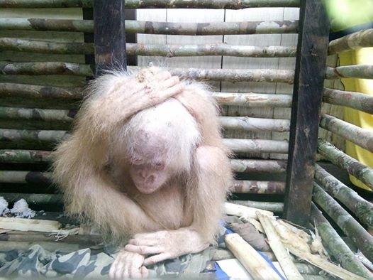 orang-outan-albinos-borneo-1