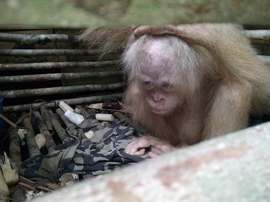 orang-outan-albinos-borneo-2