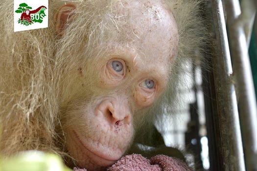 orang-outan-albinos-borneo-3