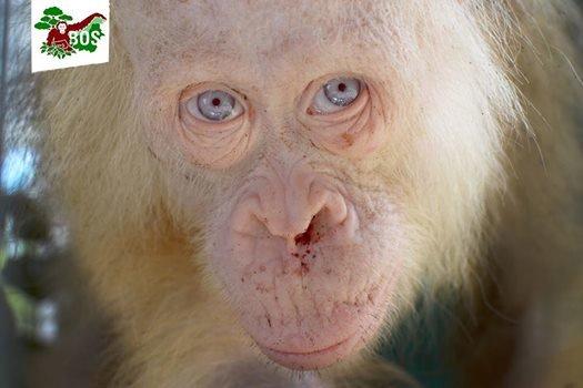 orang-outan-albinos-borneo-4