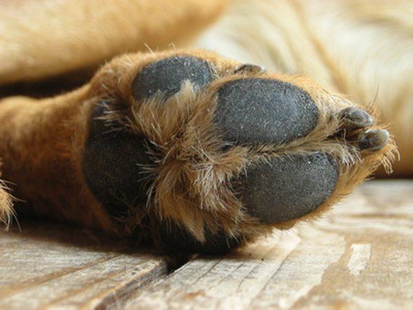 chiens-bitume-été-pattes-6