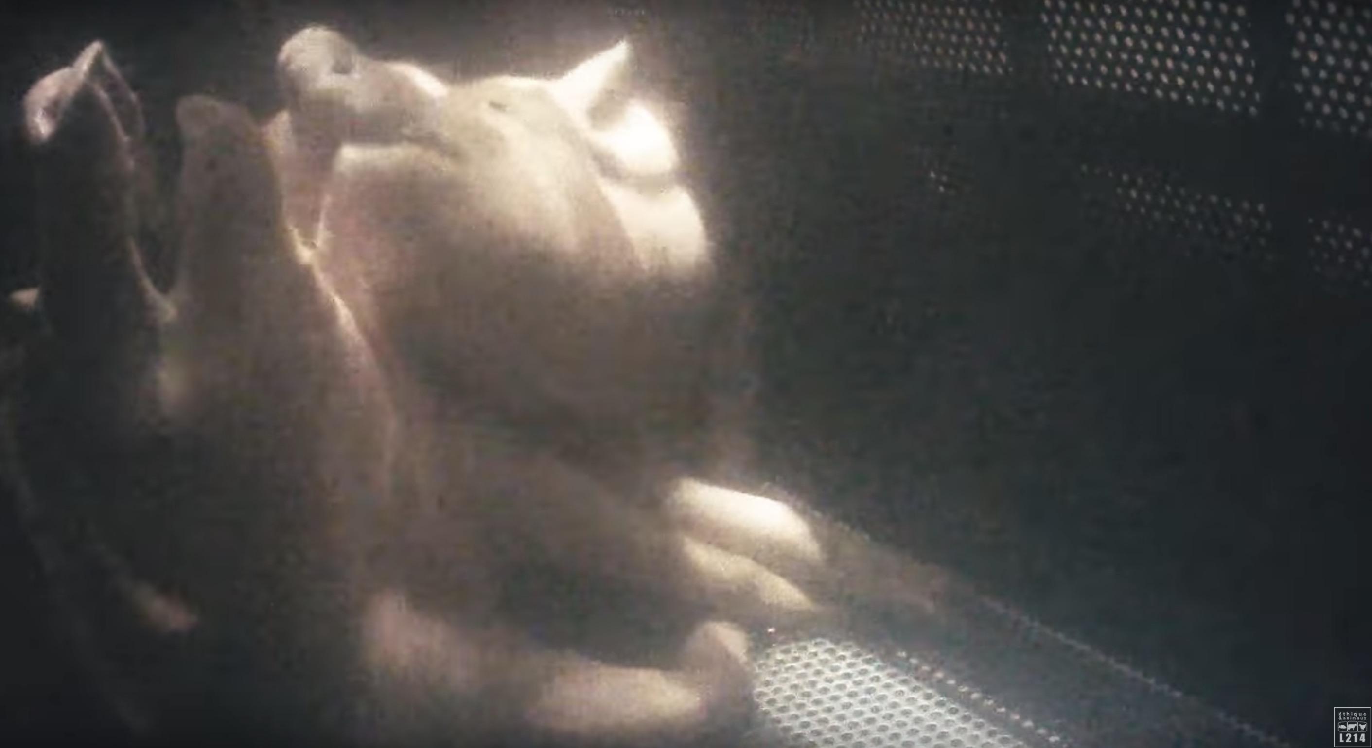 cochons-houdan-gazage-l214-8