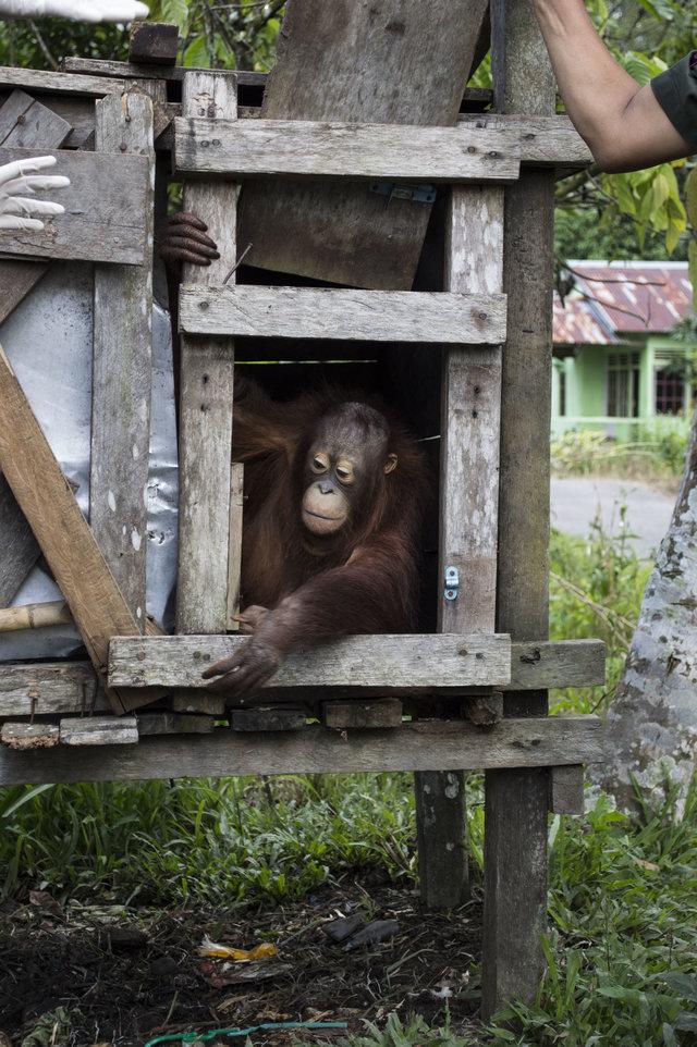 kotap-orang-outan-prisonnier-borneo-3