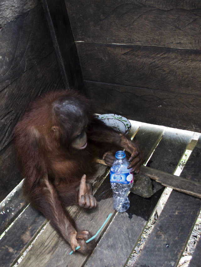 kotap-orang-outan-prisonnier-borneo-4