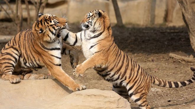 tigres-zoo-chinois-ane-actionaires-mecontent-1
