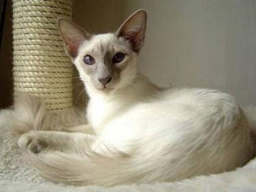 The Top 11 Hypoallergenic Cat Breeds