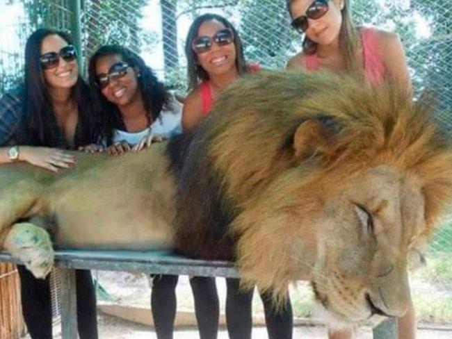 Un lion possiblement drogué au zoo de lujan