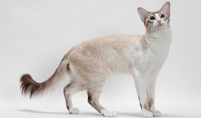 Balenese kitty