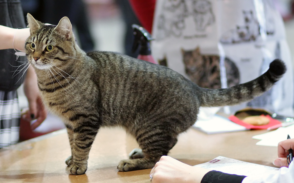 gatto europeo carattere