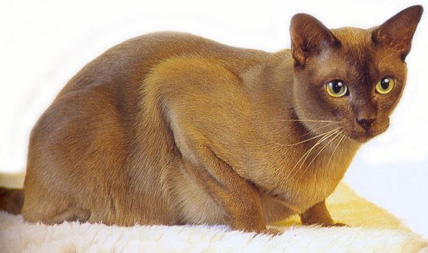 gatto burmese carattere