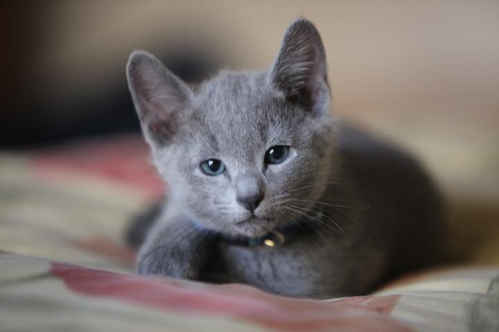 russian blue kitty