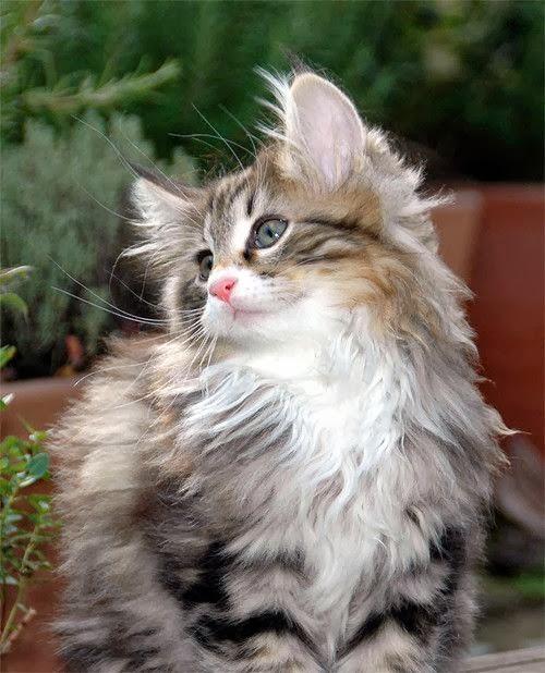 gatto norvegese gattino
