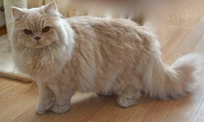 gatto british longhair carattere