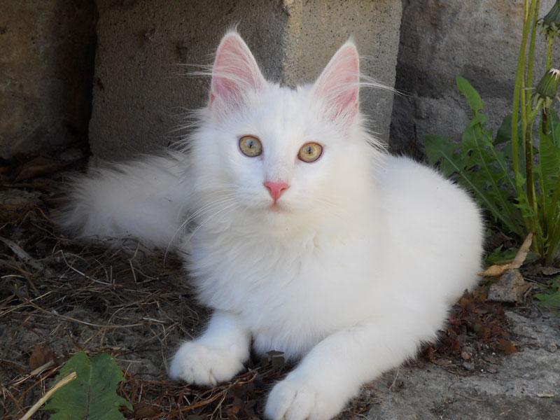 Angora Turco gattino