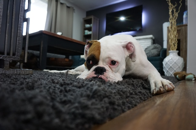 Concussion In Dogs: Symptoms And Treatments | HolidogTimes
