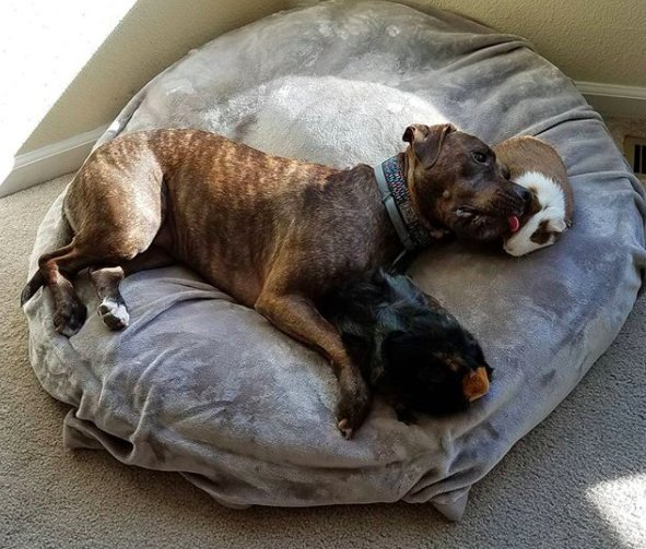 cohabitation pitbull