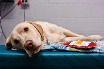 transfusion sanguine chien