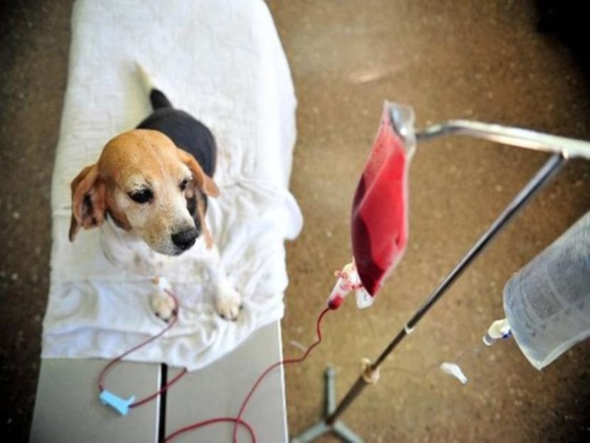 chien donneur de sang