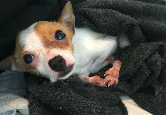 chihuahua abandonné vétérinaire