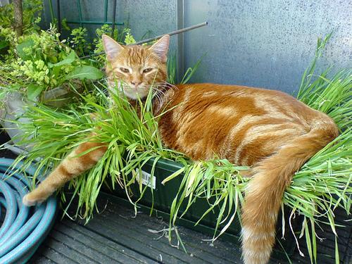 herbe à chat SEO