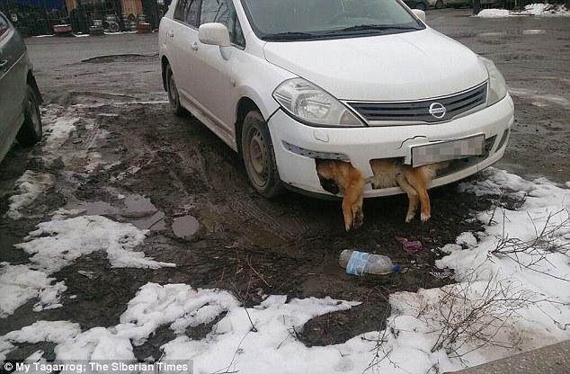 russie chien parechoc voiture
