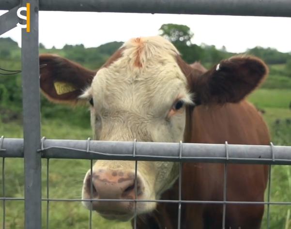 éleveur vache végétarien