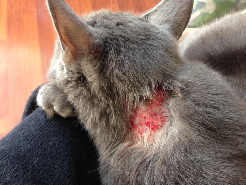 Eczema chez le chat : traitements pour soigner son chat | HolidogTimes