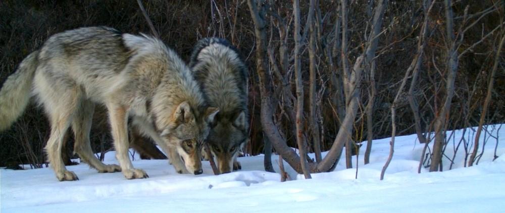 famille loups tuée