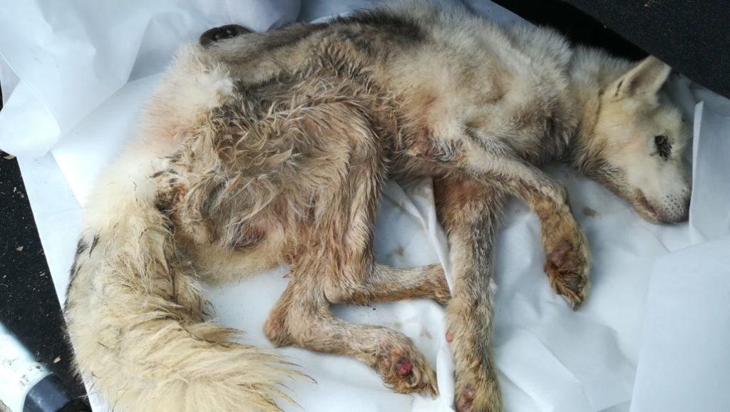 totgeschlagener Husky
