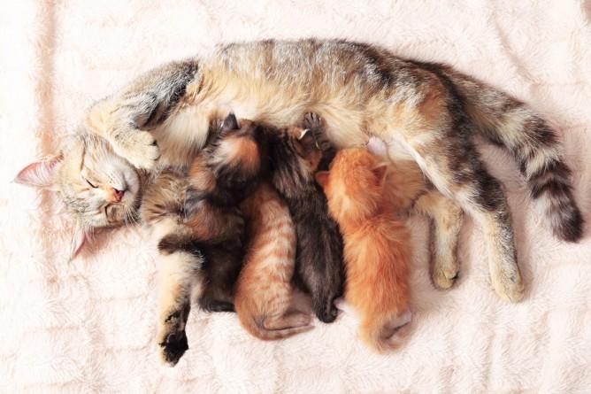 alimentation chatte gestante