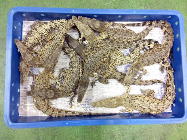 crocodile heathrow