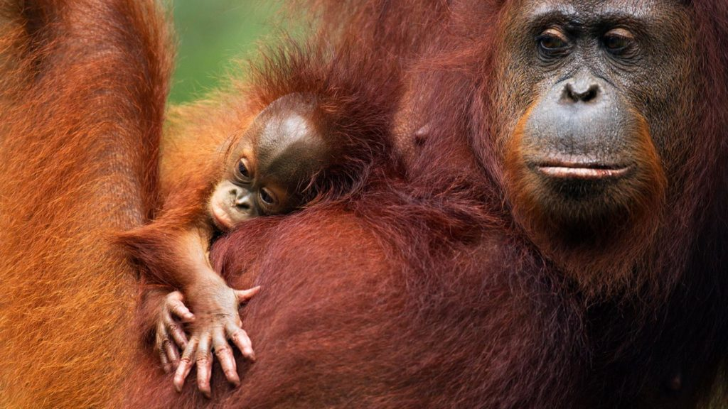 grands singes