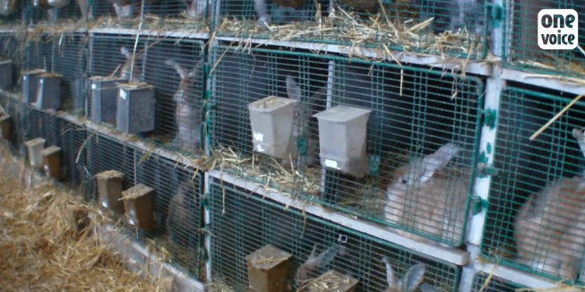 lapins angoras onevoice