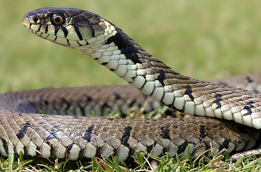 serpent chat risques