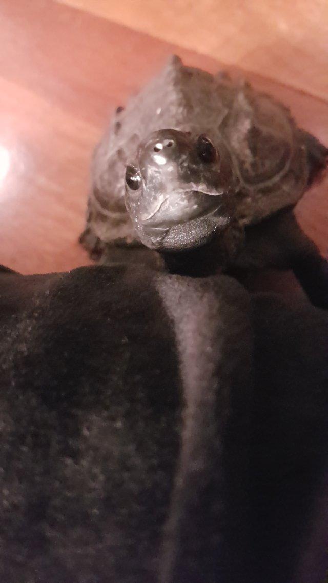 tortue domestique