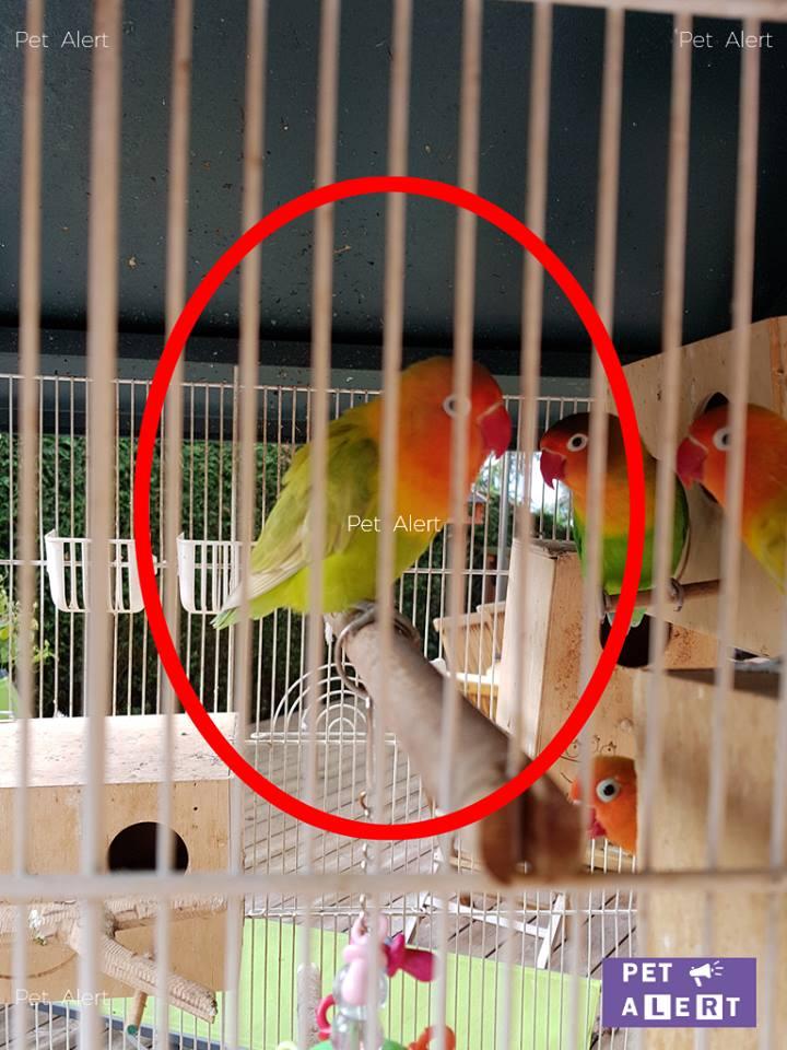 perroquet inséparable