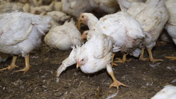 poulets maître coq L214