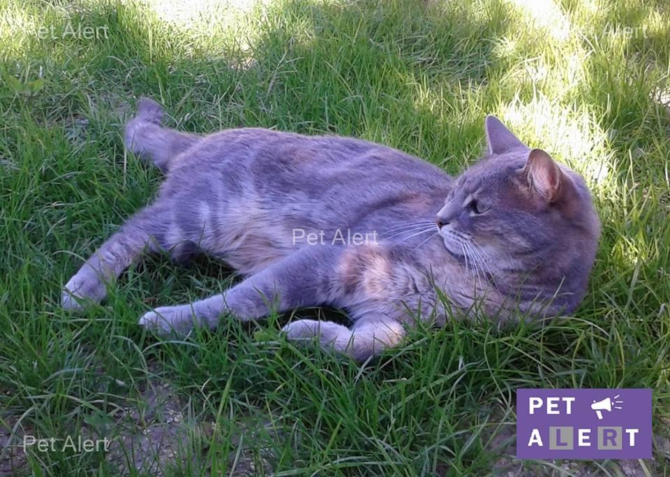chat tigré gris perdu