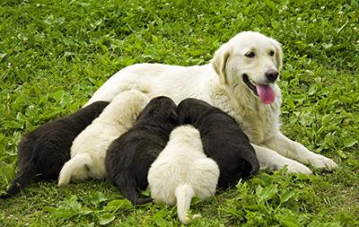 contraception chienne