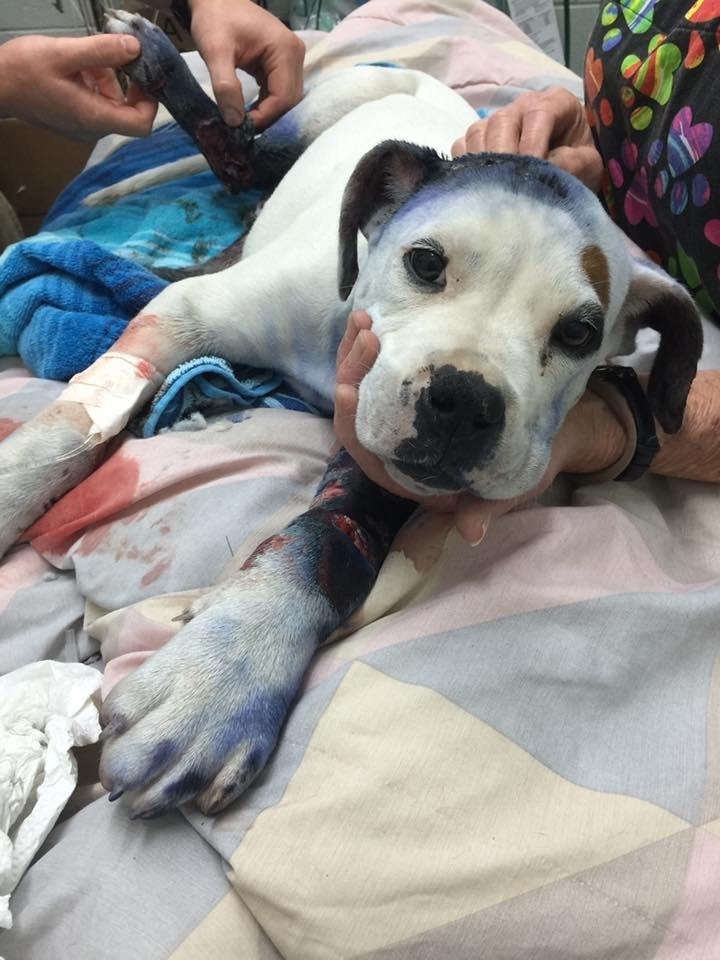 boxer-shot-rescued-8