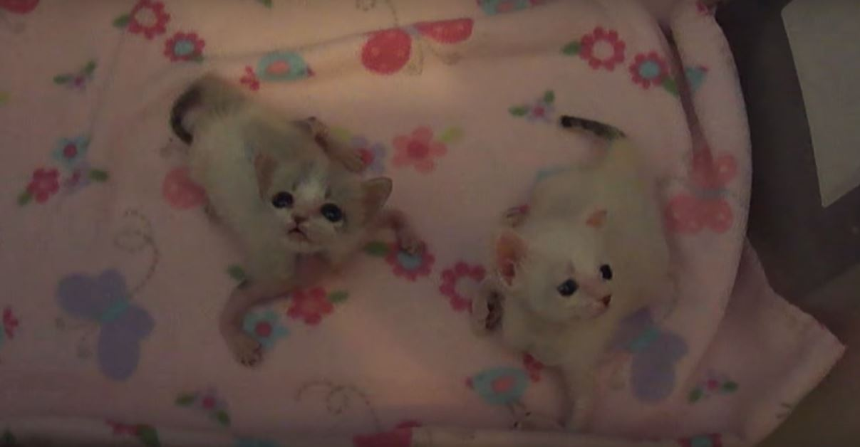 kitten-leg-twisted-1