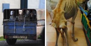 Galgos-Greyhound-massacre-espagne-2017-1